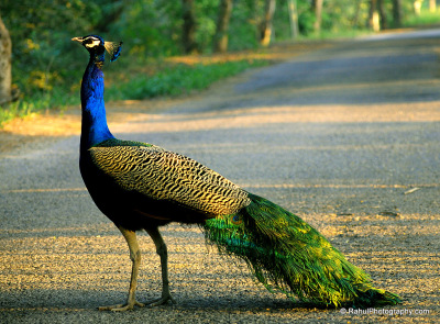 The Indian Peafowl