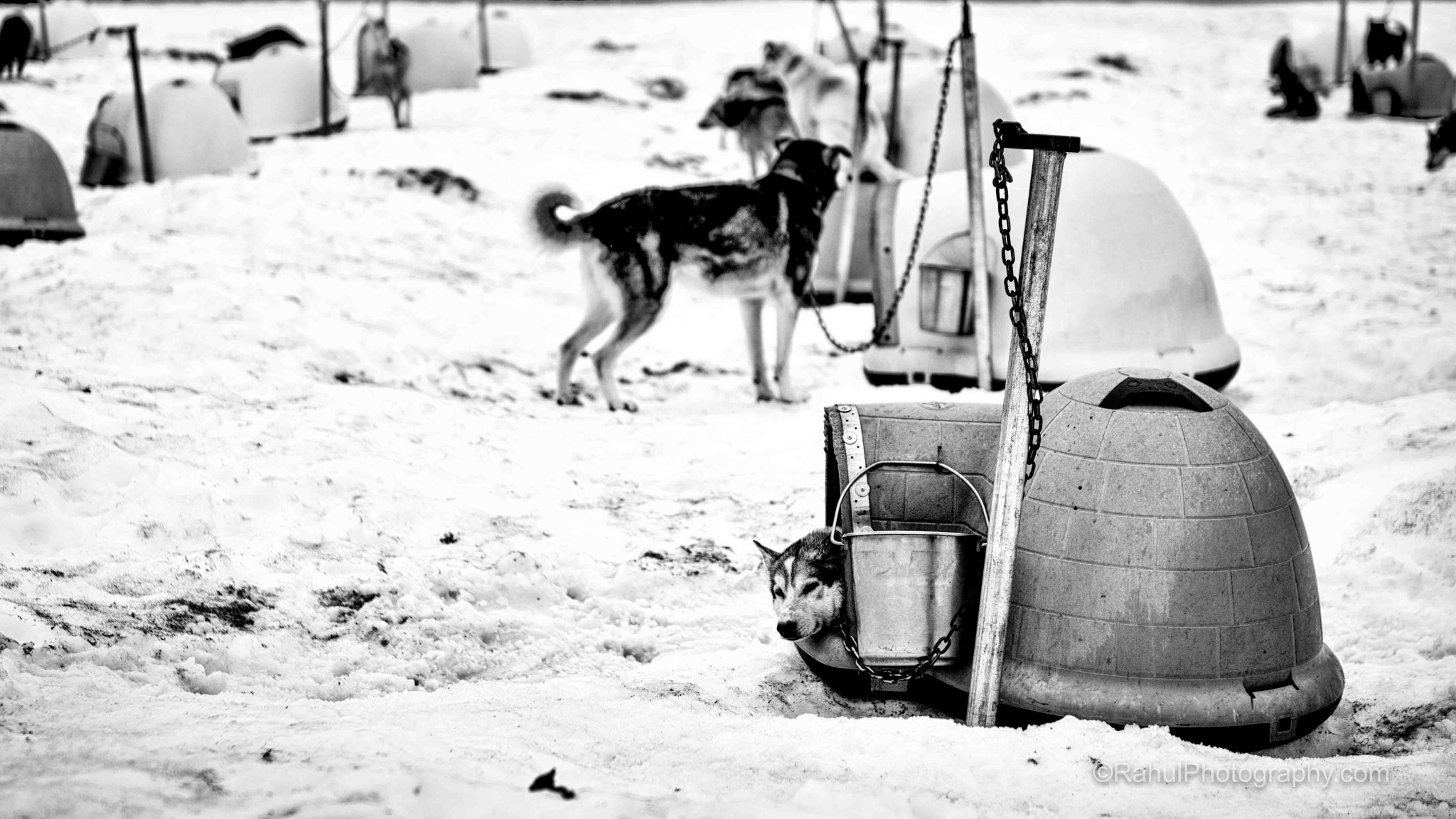 Dogs at Chugach Mountains